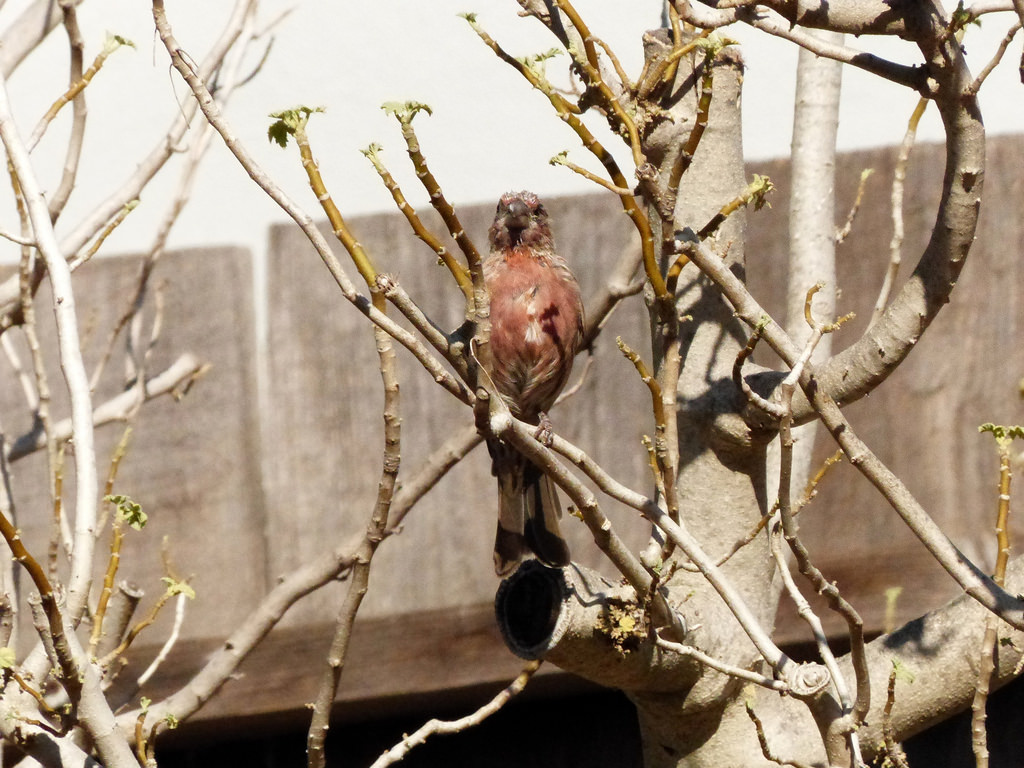Sgraggly House Finch